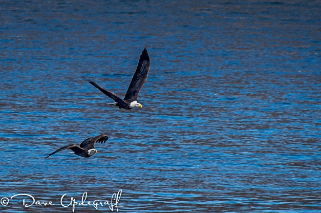 A pair of eagles search for fish