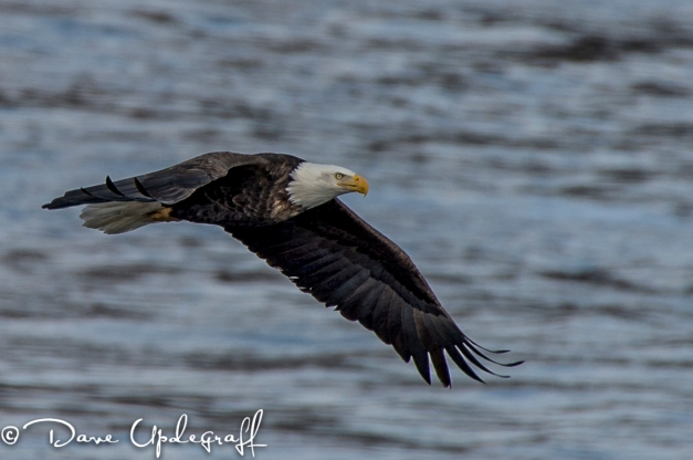 Eagle flying over the dam