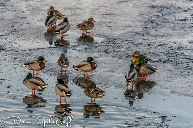 Ducks in their new diggs