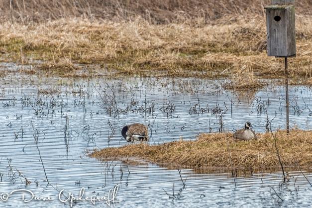 Geese nesting at Hurstville Pond