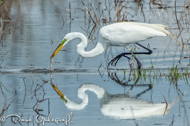 A Great Egret catches a fish