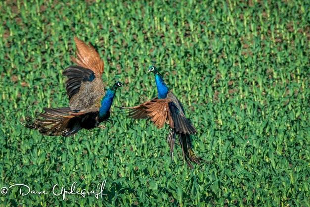 Peacoks Conflict