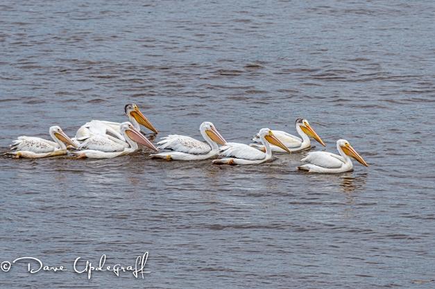 Pelicans at L&D # 11