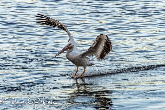 Another Pelican Landing