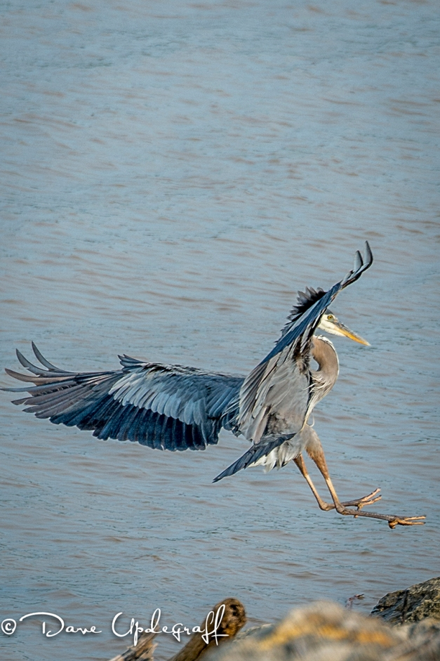Blue Heron Landing