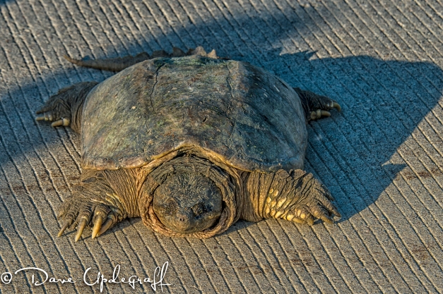 Big Ole Turtle