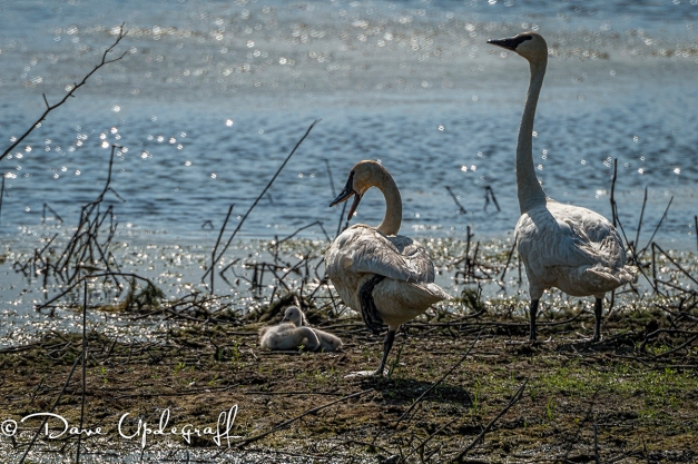 Two cygnets