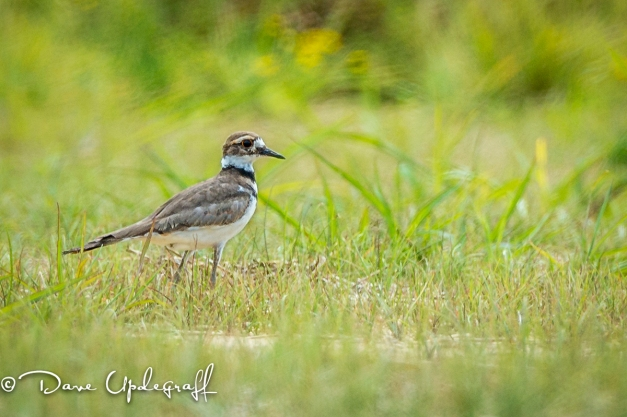 A little Killdeer