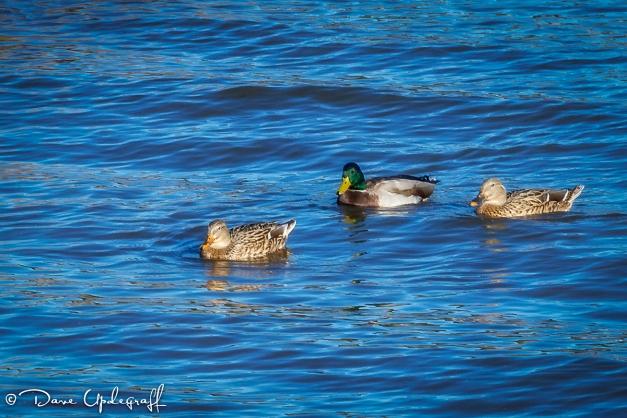 Ducks, ducks, and ducks