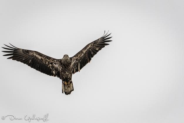juvenile eagle flys overhead