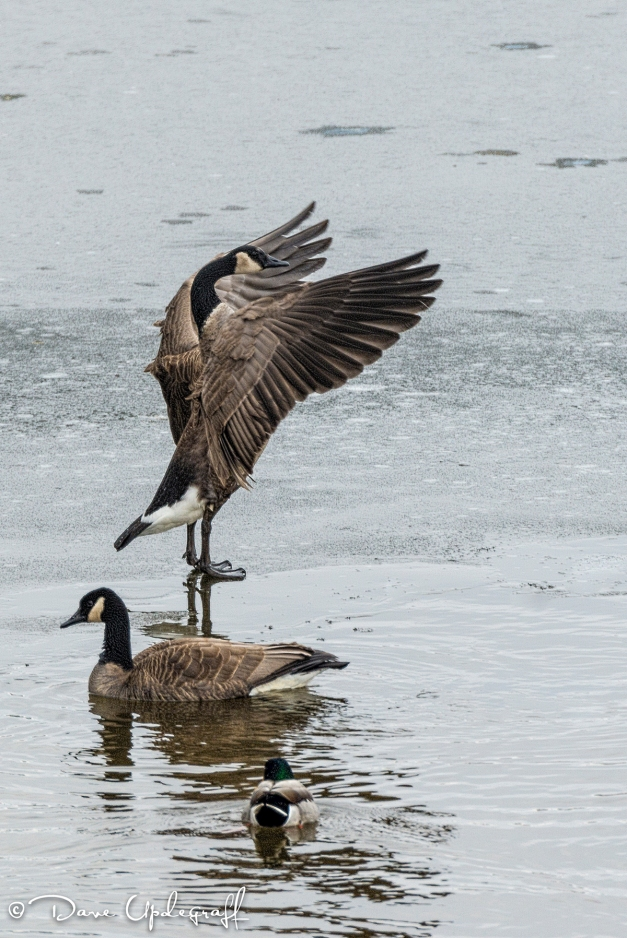A Goose Streaches