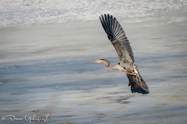 Blue Heron On His Way