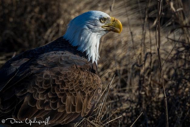 Magestic Eagle