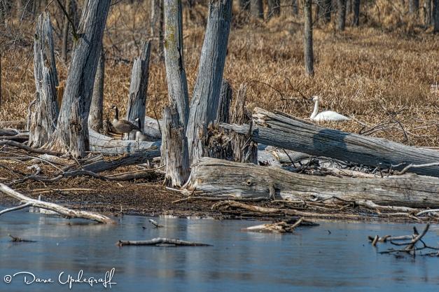 Nesting Swan?