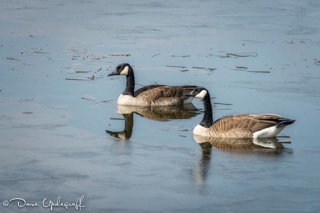 Geese at the Duck Pond
