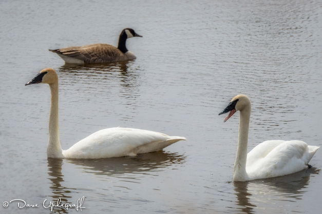 2 swans and a goose