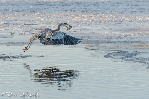 Dinner time for the Heron