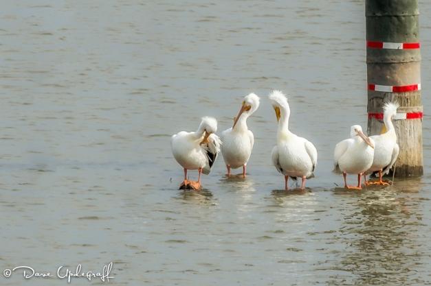 Pelicans Grooming
