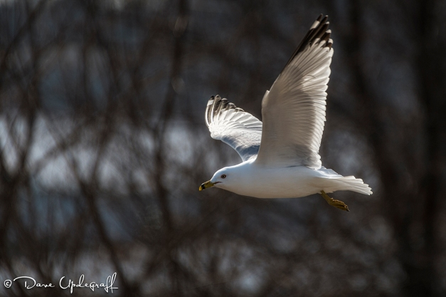 A Ring-Billed Gull