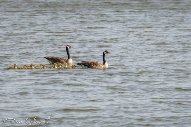 Geese and their gosslings