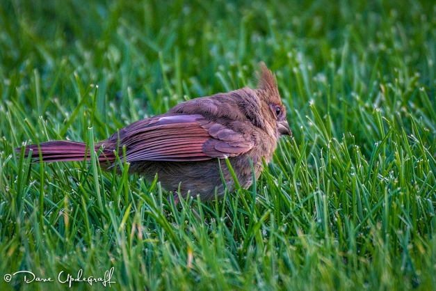 A very fat Cardinal