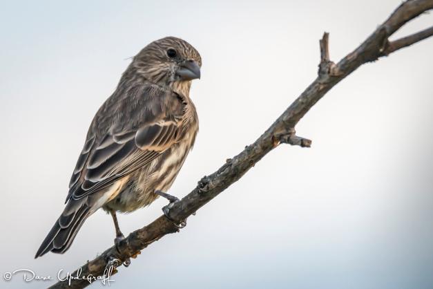 A lowly Sparrow