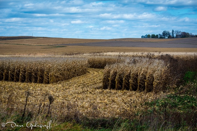 Unfinished Field Of Corn Harvest